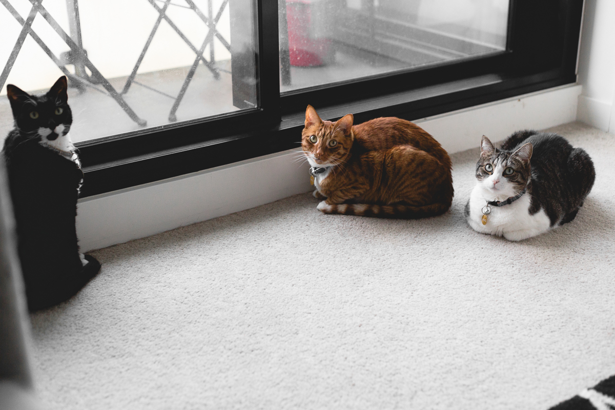 The Cat Lady's Guide To Caring For Indoor Cats. Everything you need to know about making sure your feline friends are warm, happy and safe indoors! #VEGAN #CATS #INDOORCATS #CATGUIDE #CATLADY
